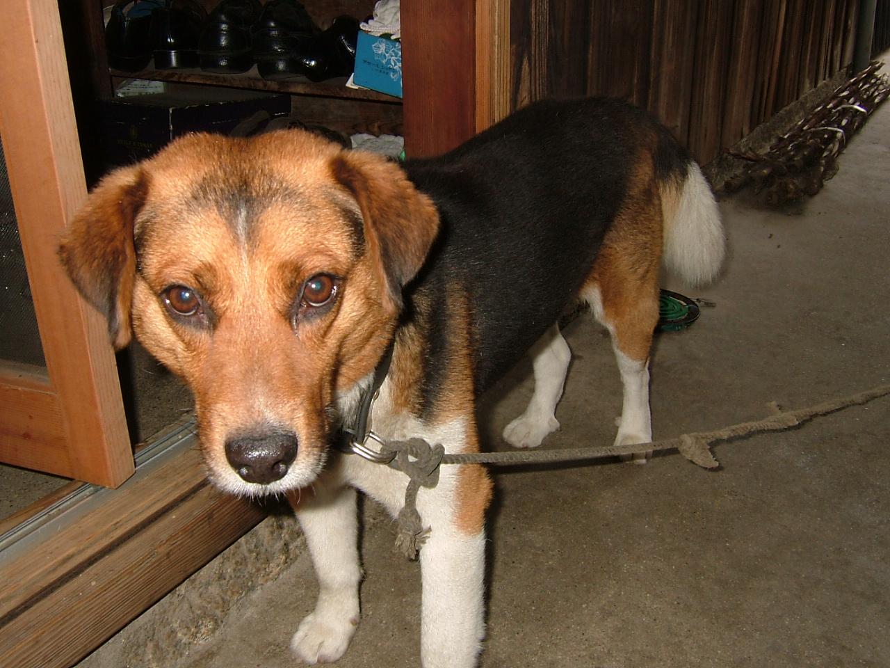 昔、家にいた、犬です^^プリマです